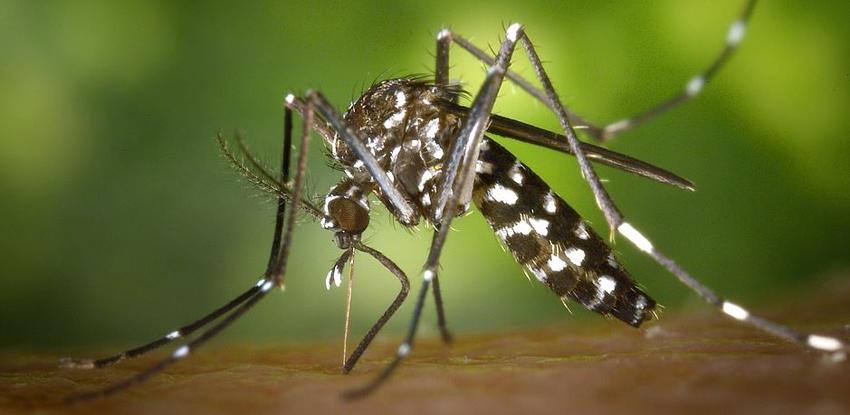 Le moustique tigre : actif jusqu'à fin novembre, comment s'en protéger ?